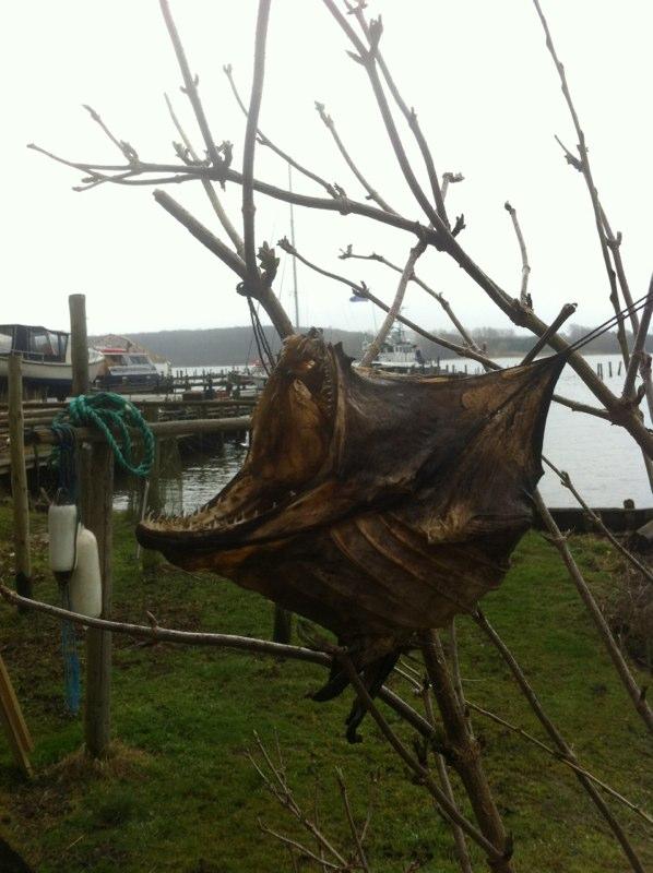 Ved Gambøt hænger disse dekorative rester fra en havkat fanget i november 2013